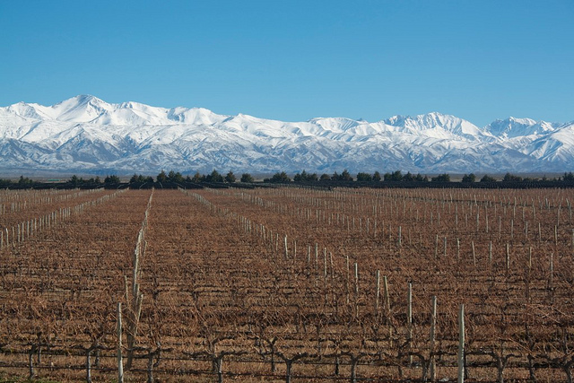 Malbec vineyard Argentina